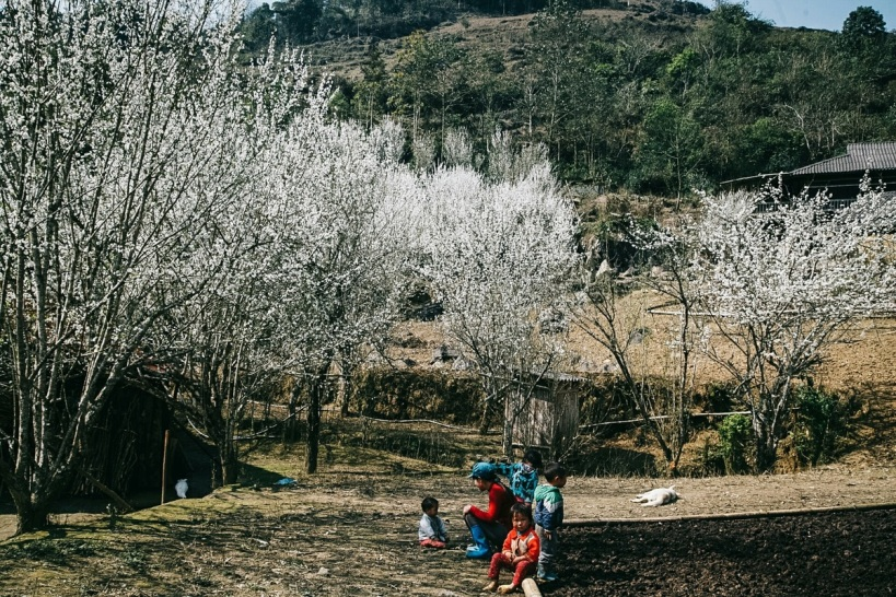 Wisatawan lokal menikmati mekarnya bunga plum dan sakura di Ta Van Chu